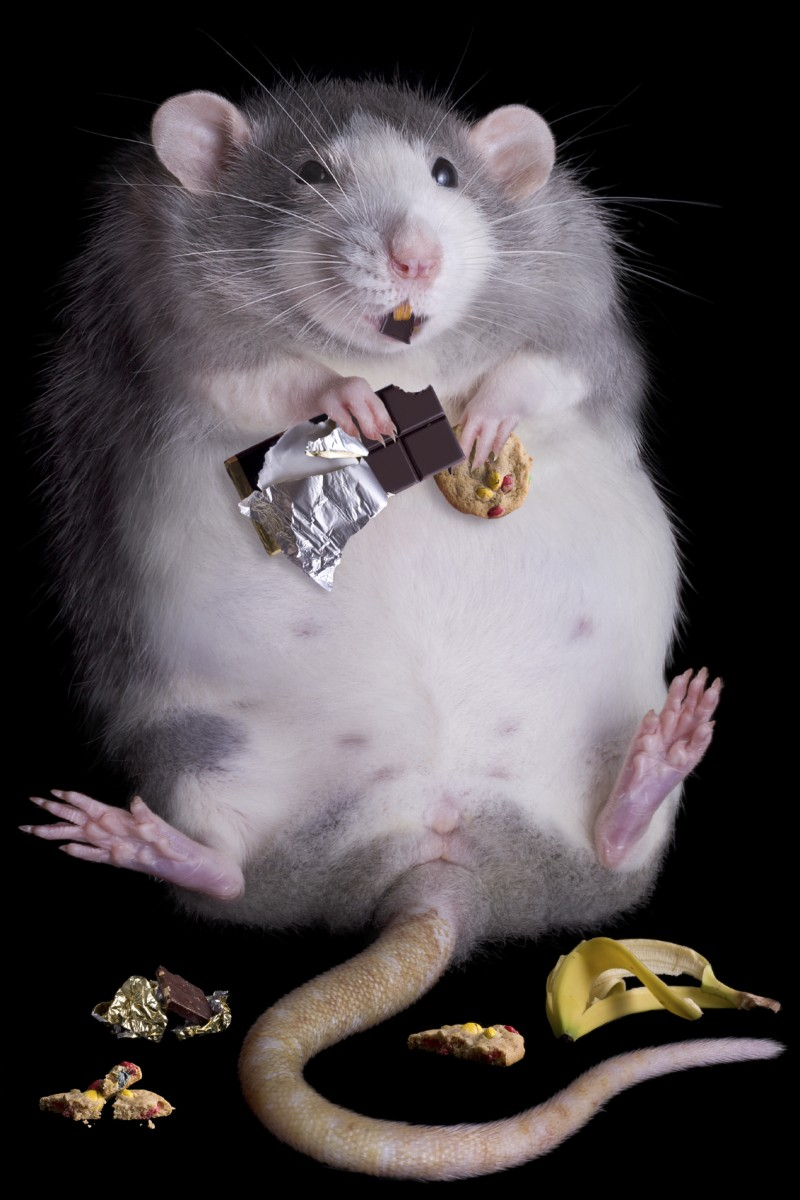 rat eating junk food