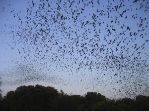 Bats flying at dusk.