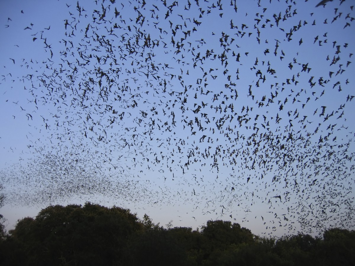 Research Reveals Tiny Hairs On Bat Wings Are Crucial For