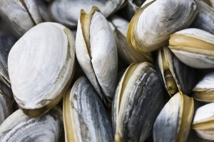 Close-up image of clams