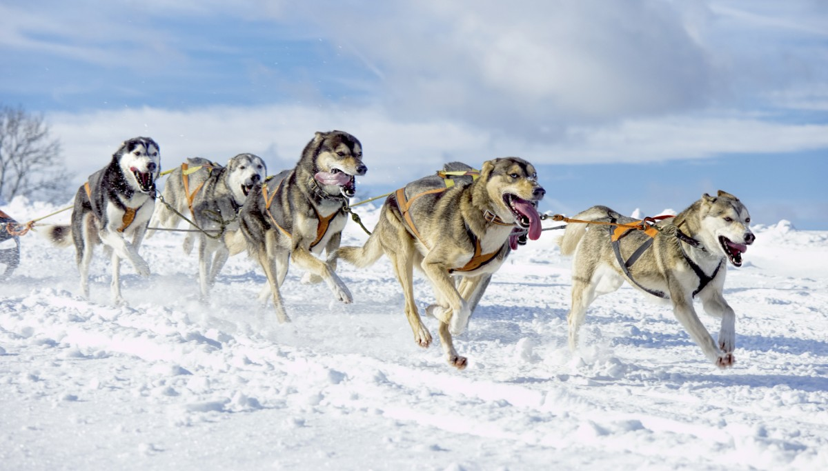 Sled Dogs Pull Their Weight in Rare Disease Genetics