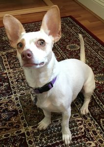 Testing showed Eliie is half Chihuahua-Shih Tzu cross, and half dachshund mix