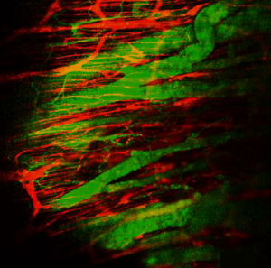 Image of mouse enteric nerves (red) and blood vessels (green) taken through an abdominal window.