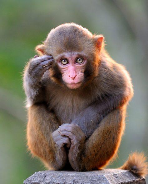 Thinking young monkey.