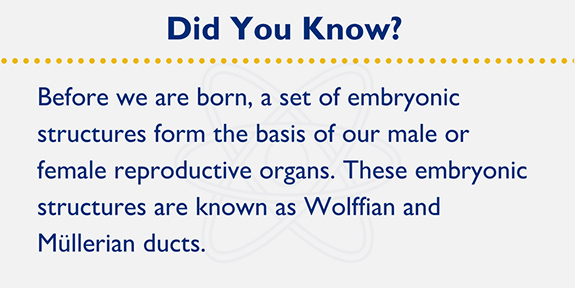 Before we are born, a set of embryonic structures form the basis of our male or female reproductive organs. These embryonic structures are known as Wolffian and Müllerian ducts