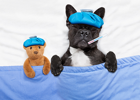 french bulldog dog with headache and hangover with ice bag or ice pack on head, eyes closed suffering , in bed resting and sleeping