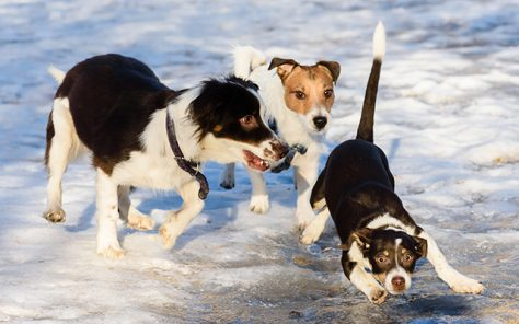 Three dogs playing at sunny winter day