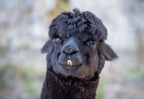 portrait of cute black llama