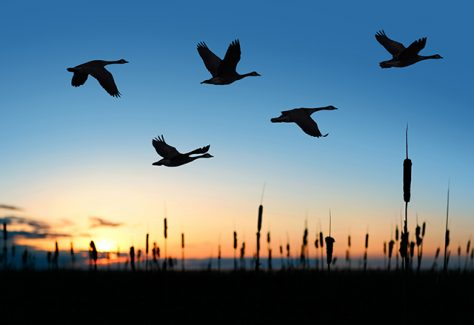 flock of migrating canada geese in silhouette at sunset