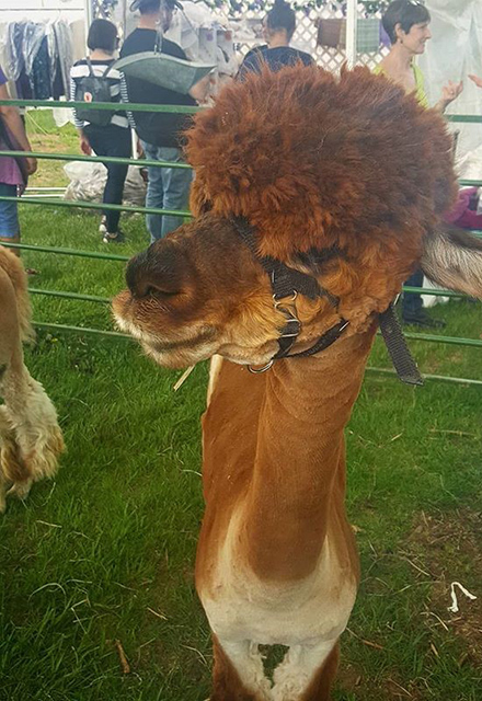 An alpaca at the Maryland Sheep and Wool Festival.