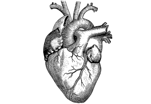 An anatomical illustration of a human heart on a white background.
