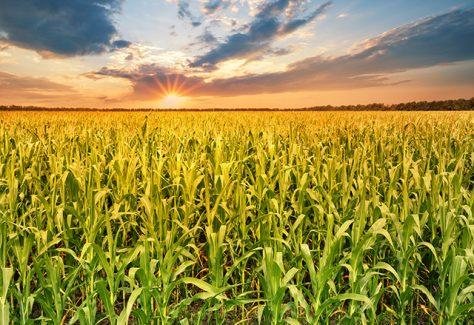 A cornfield at sunset.