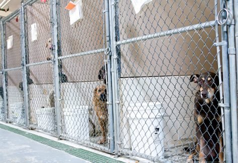 Dogs awaiting adoption in kennels.