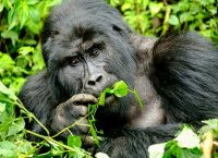 A gorilla eating foliage of a tree